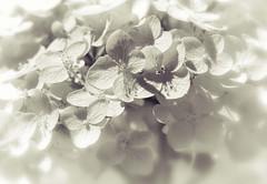 White Hydrangea (leapinlily) Tags: white hydrangea splittone