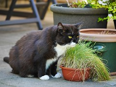 Tussi loves her cat grass (vanstaffs) Tags: tussi tuzz tuxedogirl tuxedocat t tux tusse tutu tuzz myprettytuxedogirl