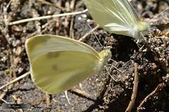 11 (FAZUGA) Tags: mariposa mariposas vila macrofotografa burgohondo