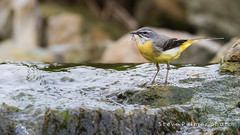 Grey Wagtail (Outdoorjive) Tags: desktop uk birds gardens other places historic southeast flikr