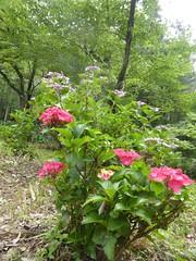 Unusually red ajisai (Stop carbon pollution) Tags: flickr japan  saitamaken  chichibu  34kannonpilgrimage