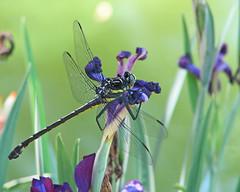 Dragonhunter in purple irises (Hagenius brevistylus) (Vicki's Nature) Tags: flowers black female canon georgia big purple dragonfly stripes irises clubtail s5 dragonhunter 2090 touchofyellow vickisnature gibbsgardens