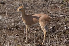 Steenbok (Joshua Daskin) Tags: wildlife africa canon 60d 100400 southafrica roadtrip animal safari savanna ecology biology kruger national park