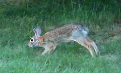 Bunny Rabbit   --   IMG_20160722_164240 (mshnaya ☺) Tags: bunny rabbit 🐇fauna animal hop wildlife outdoor fauna 🐇 flickr photo photography picture leicac leica camera narragansett new england