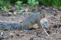 Squirrel (Daniel-Godin) Tags: backyard mn minnesota nature outdoor outdoors squirrel squirrels wildlife