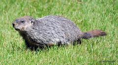 DSC_0208 (rachidH) Tags: rodents marmot groundhog woodchuck marmotamonax marmotte sparta nj rachidh nature