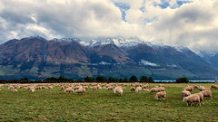 Grazing at Glenorchy (Pat Charles) Tags: newzealand nz southisland glenorchy queenstown sheep lamb graze grazing farm farming nikon mountains alps southern snow winter cold pasture paddock field