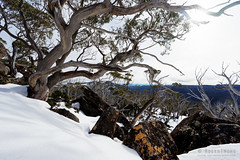20160807-06-Snowgums in snow (Roger T Wong) Tags: australia mtfield mtfieldnationalpark np nationalpark sel1635z sony1635 sonya7ii sonyalpha7ii sonyfe1635mmf4zaosscarlzeissvariotessart sonyilce7m2 tasmania bushwalk hike outdoors snow snowgum tramp trek walk winter