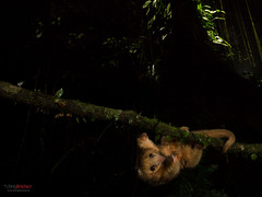 Silky anteater(Cyclopes didactylus) crossing a vine at night (Chris Jimenez Nature Photo) Tags: costarica cyclopes guapiles silky vine ambient anteater braulio carrillo chrisjimenez concern cope crossing de didactylus hormiguero infrared lowlands mammals national night park phototrap photography platanal platanar rainforest rare serafin vegetation