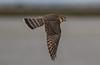 Merlin falcon in flight (Tony Webster) Tags: bowdoin bowdoinnationalwildliferefuge lakebowdoin malta merlin montana bird falcon inflight merlinfalcon unitedstates us