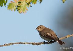Sans la mouche... (Rgis B 31) Tags: europeanpiedflycatcher ficedulahypoleuca gobemouchenoir muscicapids passriformes arige bird domainedesoiseaux mazres oiseau