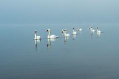 Swan in the mist (shinichiro*) Tags: 20160826ds38570 2016 crazyshin nikond4s afsnikkor2470mmf28ged yamanashi japan lakeyamanaka  swan birds