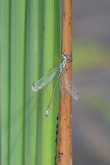 Blue-tailed damselfly 3 (Jo Rawson!) Tags: damselflies pottericcarr yorkshire yorkshirewildlifetrust nature pottericcarrnaturereserve