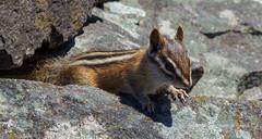 Curious Joe (amndcook) Tags: keweenaw michigan outdoors animal chipmunk lichen moss nature rocks upperpeninsula wildlife