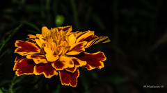 Marigold flower (Milen Mladenov) Tags: 2016 d3200 marigold nikon october closeup flash flowers macro macrofilter marigoldflower orange outdoor outside red stamen stamens yellow
