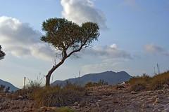Olivo Carnaje 3 (AAcero) Tags: olivo calacarnaje cabodegata