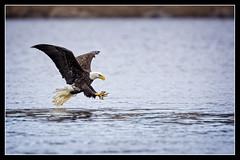Locked... (DTT67) Tags: wild nature birds photoshop canon wildlife maryland eagles susquehanna nationalgeographic bif onone baldeagles conowingo canon5dmarkiii 14xiii 500mmii