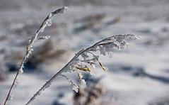 Frozen Grasses (DCZwick) Tags: winter snow canada calgary ice grass frost alberta prairie grassland nosehillpark pentaxart pentaxk3 sigma183518art