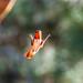 Hummingbird, Alta Ranch