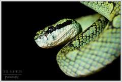 Trimeresurus trigonocephalus (Thor Hakonsen) Tags: viper reptilia hoggorm serpentes viperidae pitviper trimeresurustrigonocephalus srilankangreenpitviper squamta grophuggorm