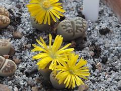 094 (BobTravels) Tags: plant stone bob lithops lithop messem bobwitney