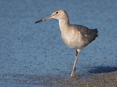 Willet a la Quatrieme Derriere (Ingrid Taylar) Tags: california beach birds standing wildlife posing olympus pacificocean southerncalifornia omd redondobeach shorebirds willet 2014 em1 losangelescounty zuiko50200mm tringasemipalmata