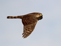 Sparrow Hawk - Accipiter nisus (normanwest4tography) Tags: bird nature flying inflight wings wildlife 7d avian