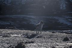 Perro de Pastoruri (Sulvara) Tags: wild dog peru nature canon climb hill