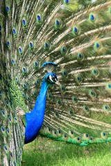 Peacock (c10lmw) Tags: blue bird nature canon feathers arboretum peacock 1000d