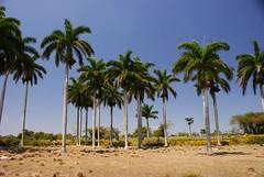 Paseo a campo traviesa desde Camajuaní hasta la villa de Vega de Palma, Cuba (lezumbalaberenjena) Tags: vega palma camajuani camajuaní villas cilla clara cuba campo azucar real royal palm roystonea regia lezumbalaberenjena