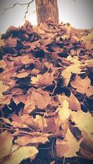 Three Feet High and Rising (Kenneth Wesley Earley) Tags: fall leaves spokane northcentral spokanewa 99205 emersongarfield htconem8