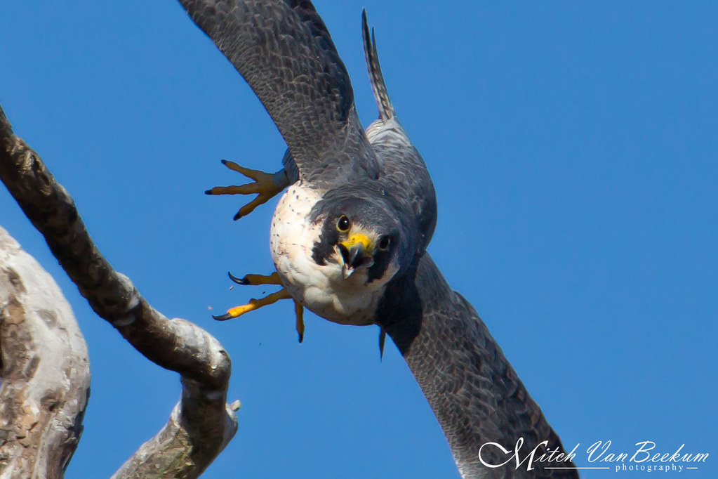 Comin' Atcha! (Peregrine Falcon)