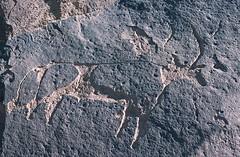 Gonoa (ursulazrich) Tags: sahara cattle chad paintings bull rockart basalt petroglyphs tchad tschad ciad ennedi tibesti gravuren