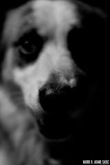 _MG_4093 (MauroAdamoSaenz) Tags: dog pet black negro perro coco fondo mascota mauro 50mm18 saenz backgroud adamo canont3