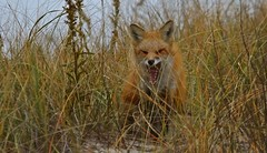 Red fox - New Jersey Shore (superpugger) Tags: wildlife newjerseywildlife fox redfox mammals mammalsofnorthamerica coastalwildlife canoneos5dmarkiii canon 5d 5dmarkiii smallcarnivores mammal lawrencepugliares lpugliares foxes animal animals outdoors canid canids vulpesvulpes critters