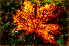 Bittersweet (ScottElliottSmithson) Tags: autumn color art fall nature wet leaves contrast forest canon eos washington leaf woods decay foliage washingtonstate 7e eos7d dtwpuck scottelliottsmithson