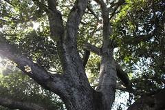 Alzina Encina (Cristina Camps) Tags: naturaleza arboles natura menorca encina alzina centenaria algendar barrancdalgendar