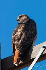 Handsome Red Tailed Hawk takes in the afternoon sun