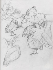 crested partridges (devinderry) Tags: bird birds partridge partridges birddrawing birdart birdillustration zooart zoodrawing crestedpartridges zooillustration zoodrawings