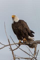 Bald eagle keeping an eye on the horizon