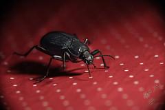 Beetle with red background (محمد بوحمد بومهدي) Tags: animal bug insect nikon beetle insects bugs mohammed beetles حيوانات حشرة حيوان d810 maicro نيكون بوحمد buhamad حشرات مايكرو خنافس خنفساء أمحمدبوحمد