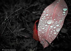 untitled-3 (carrie.grieve) Tags: pink red plants macro nature water leaves rain closeup close raindrops waterdrops 100mmmacro canon70d