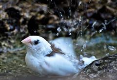 "White Finch ("""" Arun) Tags: summer white bird birds bath finch"