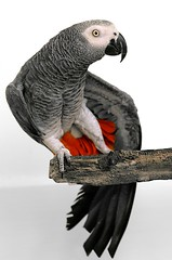 Wing Stretch (imageClear) Tags: red portrait pet bird eye animal grey arthur wings gray feathers parrot stretch africangreyparrot africangrey perch redtail talker greyparrot wingstretch