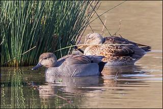 Couple de canards chipeaux (Anas Strepera)