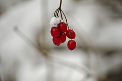 winter rose bud (SusanCK) Tags: snow landscape leavenworth susancksphoto