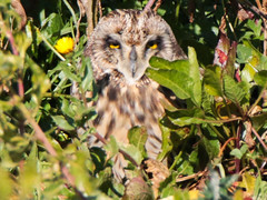 Coruja-do-nabal, Short-eared Owl (Asio flammeus) (valadares.vasco) Tags: corujadonabal shortearedowl asioflammeus bird birds animal animals wildlife nature feather feathers