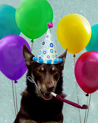 Party Animal (aussiegall) Tags: party rescue dog animal balloons ally blower partyanimal