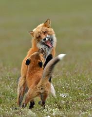 DB6_9466 (DouglasJB) Tags: bunny nature animals cuddly fields foxes yawning redfox cuteanimals djbphotocom nikonafsnikkor300mmf28gedvrii