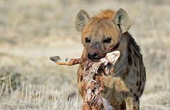 meal-time ~a (PicturesWild) Tags: wildlife namibia hyena etosha laughinghyena crocutacrocuta spottedhyena etoshanationalpark pictureswild hina gevlektehina